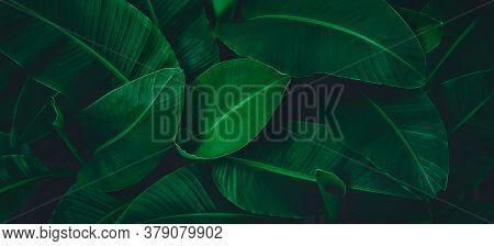 Tropical Leaf, Lush Green Banana Foliage In Rainforest, Nature Background.