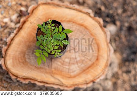 Sprout Of Tree (rosewood, Siamese Rosewood, Or Tracwood) In Black Seeding Bag Put On Top Of Tree Stu