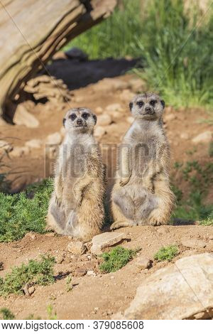 Meerkat - Suricata Suricatta Standing On A Stone Guarding The Surroundings In Sunny Weather. Photo H