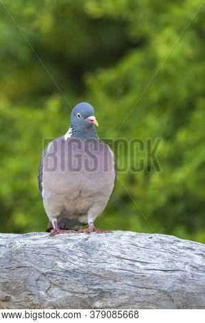Pigeon Sitting On A Wooden Log. The Photo Has A Green Background.