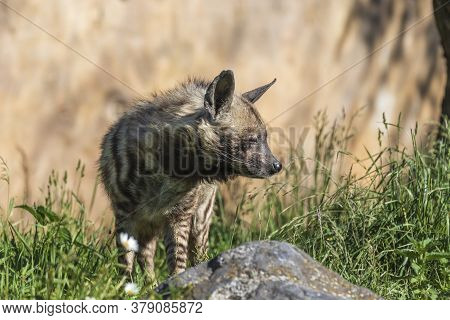 Brindle Hyena - Hyaena Hyaena Stands In A Meadow In The Grass.