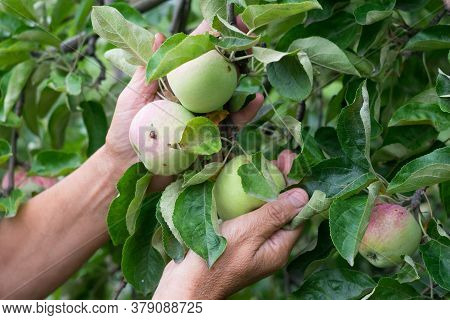 White Female Hands Take Fresh Ripe Apples From An Apple Tree. Traditional Collecting Handmade Organi