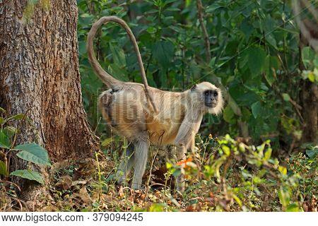A gray langur monkey (Semnopithecus entellus) in natural habitat, Kanha National Park, India