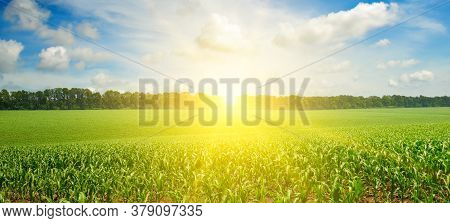 Green Field With Corn. Blue Cloudy Sky. Sunrise On The Horizon. Wide Photo .