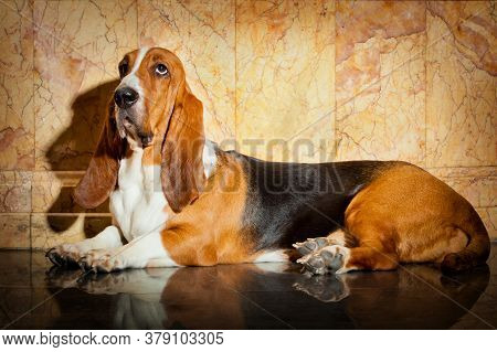 Portrait Of A Basset Hound Dog With A Shadow