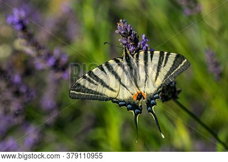 Large Yellow Scarce Swallowtail Butterfly With Black Stripes And Its Wings Spread Sitting On Lavende