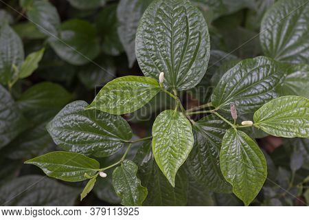 Wildbetal Leafbush Or Piper Sarmentosum Roxb Is A Vegetable And Herb Of Thailand.