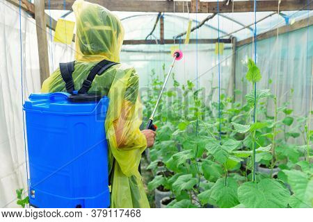 Farmer Spraying The Insecticide In Melon Farm