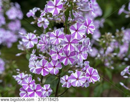 Closeup Of Pretty Pink Striped Phlox Flowers, Variety Phlox Maculata Nataschia, In A Garden