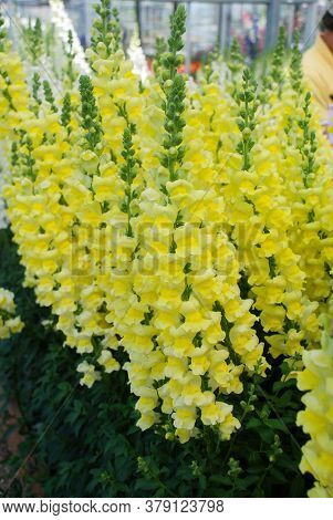 Colorful Snapdragon (antirrhinum Majus) Blooming In The Garden Background With Selective Focus, Cut