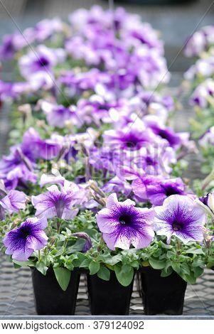 Petunia ,petunias In The Tray,petunia In The Pot, Mixed Color Petunia, Blue Shade