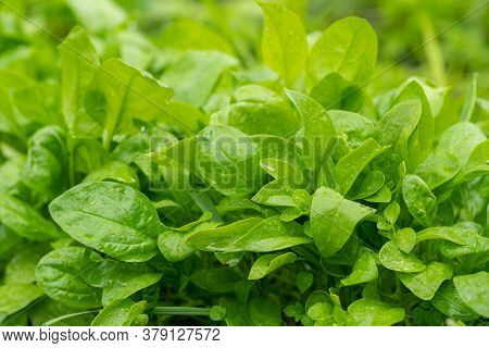 Spinach Leaves Grow In The Garden Beds, Growing Spinach In The Garden.