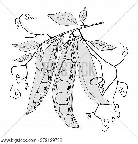 Branch With Peas And Leaves In Gray Colors, Vector Illustration, Isolate On A White Background
