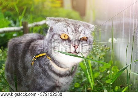 Gray Black Striped Scottish Fold Cat With Yellow Eyes Eating Grass In The Garden. Concept For Walkin