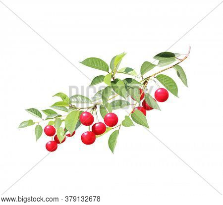 Cherry tree branch with red berries and leaves. Isolated on white background