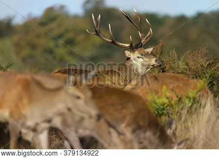 Red Deer Stag Looking At Hinds During Rutting Season In Autumn, Uk.