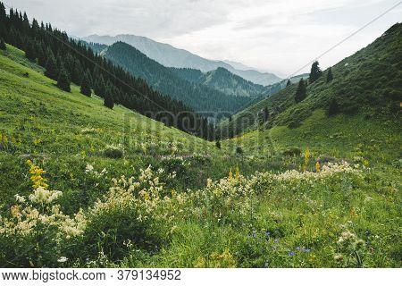 White Flowers On A Mountain Green Meadow. Mountain Evening Landscape, Butakovskoe Gorge Almaty, Kaza