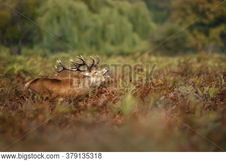 Close-up Of A Red Deer Stag Calling In A Field Of Ferns During Rutting Season In Autumn, Uk.
