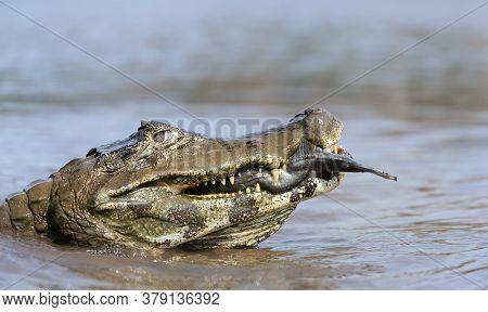 Close Up Of A Yacare Caiman (caiman Yacare) Eating Piranha In A River, South Pantanal, Brazil.