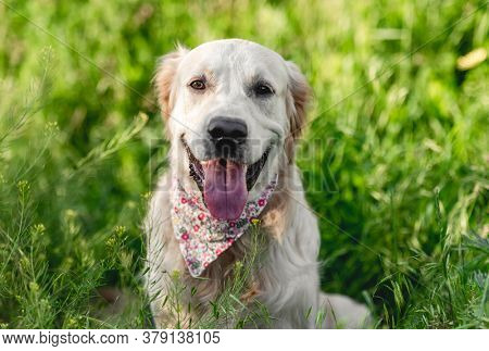 Cute muzzle of golden retriever