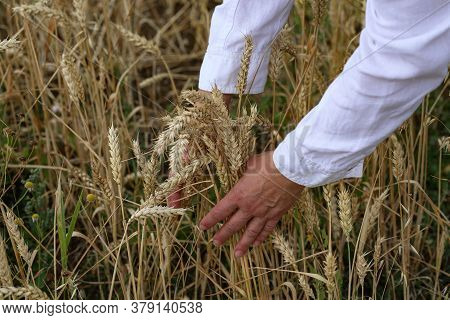Womens Hands Collected The Ears Of Ripe Wheat In A Bunch