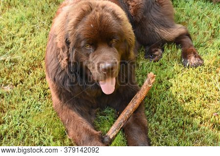 Sweet Brown Newfoundland Dog With A Stick.