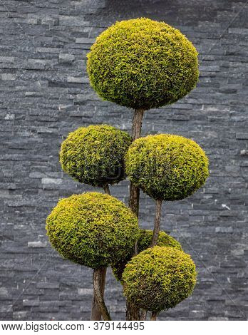 Topiary Art Of Clipping Shrubs And Trees In The Garden. Sphered Thuja