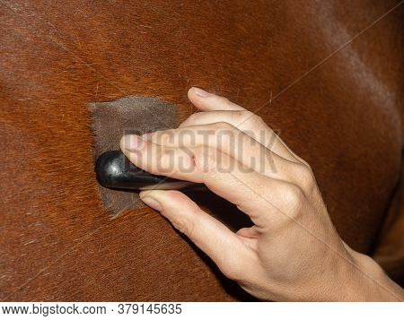 Veterinarian Makes Ultrasonic Scanning Of Horse Lungs. Suspected Bronchitis Or Pneumonia.