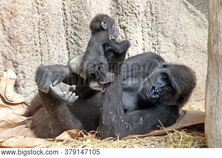 A Gorilla Cub Next To Its Mother. Gorilla Family At The Zoo.