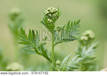 Beautiful Fresh Inflorescences Of Tansy With Buds Blooming In A Summer Field