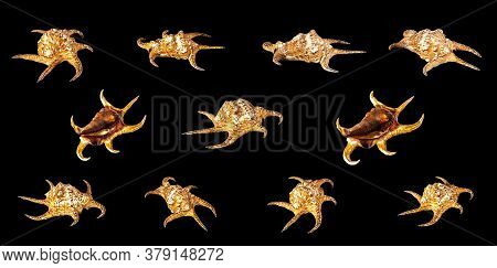 Set Of Sea Shell Isolated On A Black Background. Lambis Is A Genus Of Large Sea Snails Sometimes Kno
