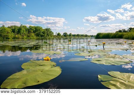 Summer Landscape. Blooming Yellow Lily Pads With Large Green Leaves In The River. Reflection Of The