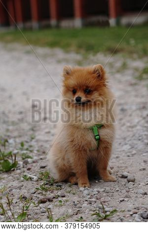 The Puppy Is Sitting On The Street. A Small, Thoroughbred Dog. The Pet Is Beige And Fluffy. Pomerani