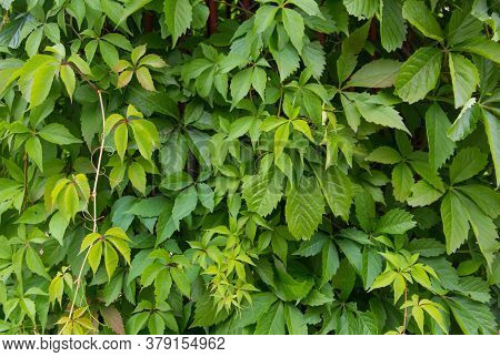 Color Of False Heather Plant. Background Of Green Leaves. Green Hedge. Background Of Green Leaves. H