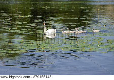 White Swan Swims With Small Swans On The Lake And Water Lilies. Cheese Goslings Swim After A Goose I