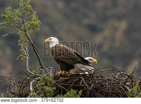 American Bald Eagle In Its Nest, Two American Bald Eagles In Its Nest
