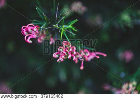 Native Australian Pink Grevillea Plant Outdoor In Sunny Backyard Shot At Shallow Depth Of Field