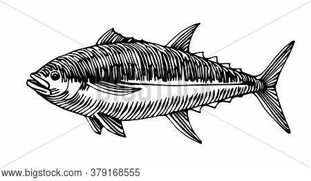 Atlantic Bluefin Tuna, Commercial Fish, Delicious Seafood, Engraving, Sketch, Vector Illustration Wi