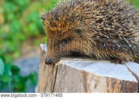 Young Prickly Hedgehog Sitting On The Log