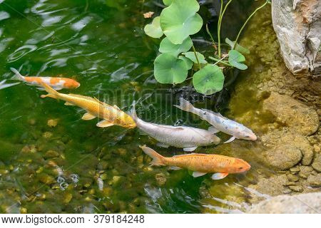 Swimming Colorful Koi Carps In The Tranquil Pond Water