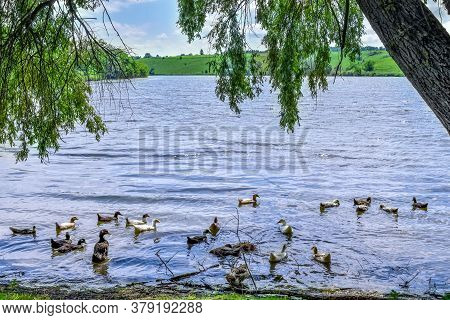 A Flock Of Domestic Ducks Swims In The Pond Under The Willow Branches. Rural Lake With Waterfowl Bir