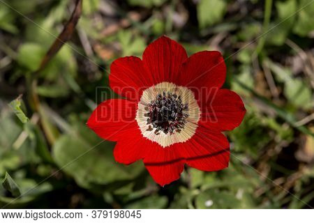 Flora Of Greece. A Rare, Spring, Red Anemone (anemone Coronaria) Grows On A Mountain Meadow Close-up