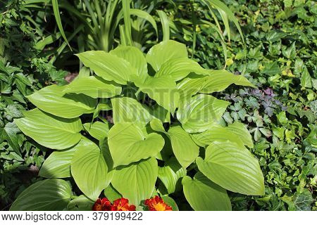 The Picture Shows A Field Of Hostas In The Garden