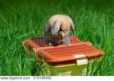 The Funny Rabbit Is Sitting On The Orange Animal Carrier And Covering Its Muzzle With Its Forepaws.