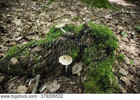Wild Mushroom In The Forest, Detail Of Poisonous Mushroom, Danger Of Death