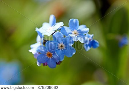 Myosotis, Forget-me-not In The Eifel, Germany Photographed In Spring