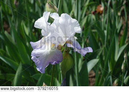 Single Pale Violet Flower Of Iris In Mid May