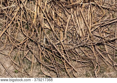 Scattered Stalks Yellow Wheat On Ground. Straw, Dry Straw Textured Background, Vintage Style For Des