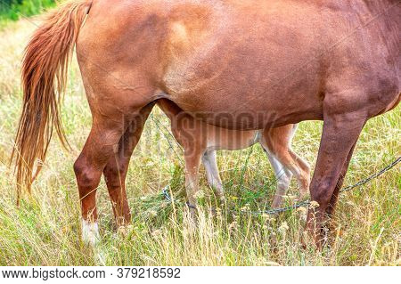 Part View Of Horse Mare And Foal . Domestic Animals Mother And Child
