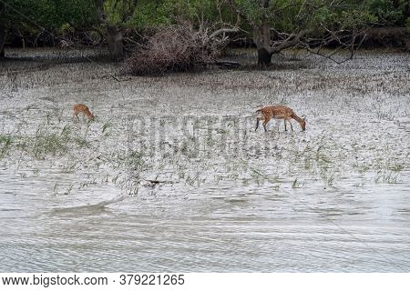 Young chital deer, Axis axis, Mangrove forest, Sundarbans, Ganges delta, West Bengal, India